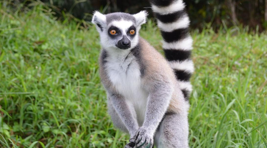 Volunteer with Projects Abroad in Madagascar and contribute to the conservation of lemurs.